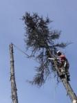 Валка дерева с подвесом на соседнем дереве