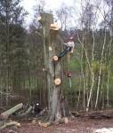 Спил больших деревьев